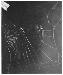 marijuana spider web