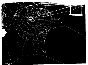 phenobarbital spider web